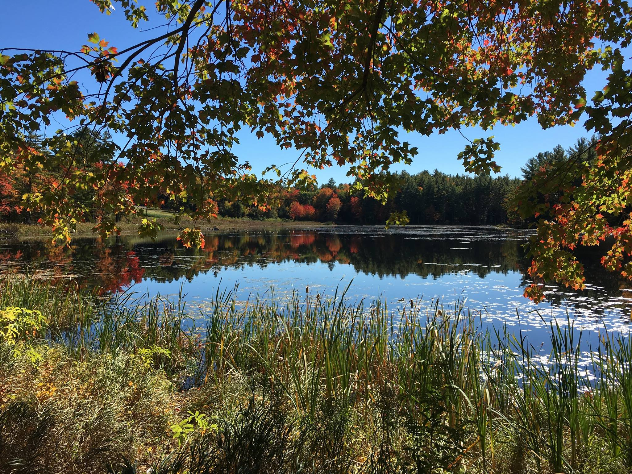 Pond, surrounded by marshy grasses.  In the background, trees in fall bloom, showing orange and red leaves.